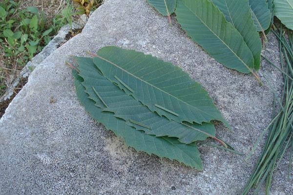 Entre follas de castiñeiro